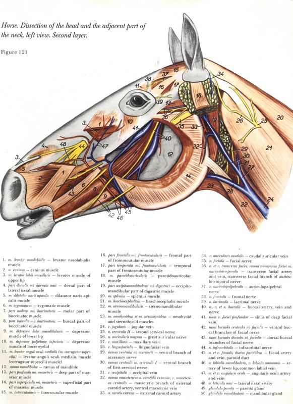 Dorable Anatomía De Una Cabeza De Caballo Ilustración - Anatomía de ...
